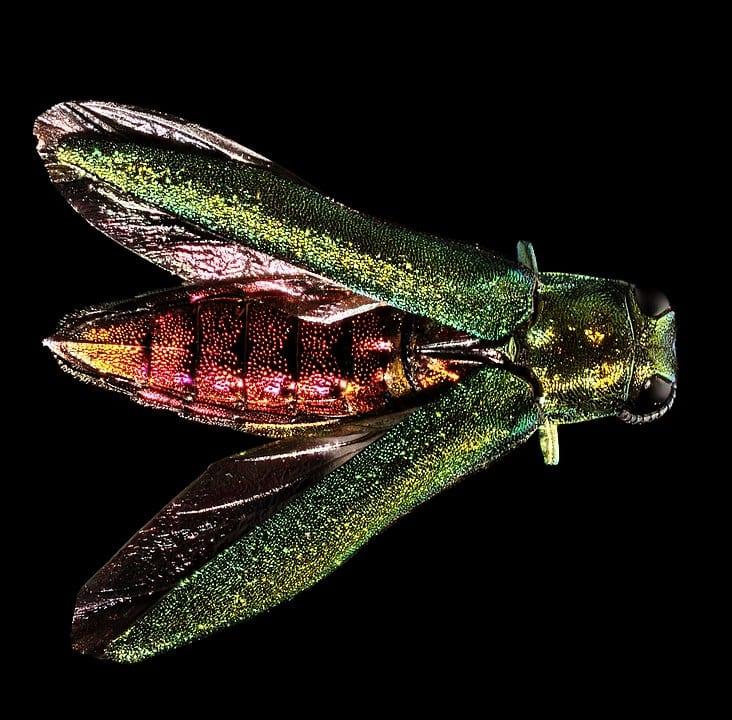732px Agrilus planipennis Emerald Ash Borer 14413937741