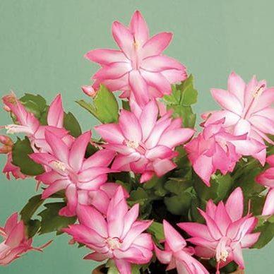 christmas cactus pink 3.