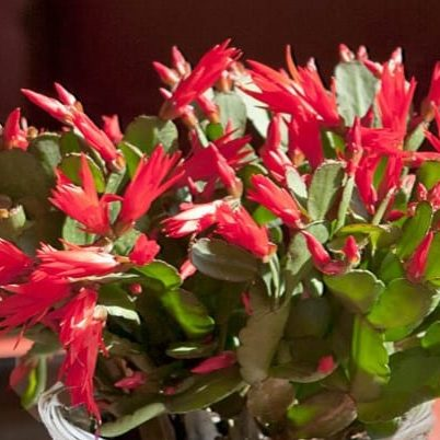 christmas cactus red 3.